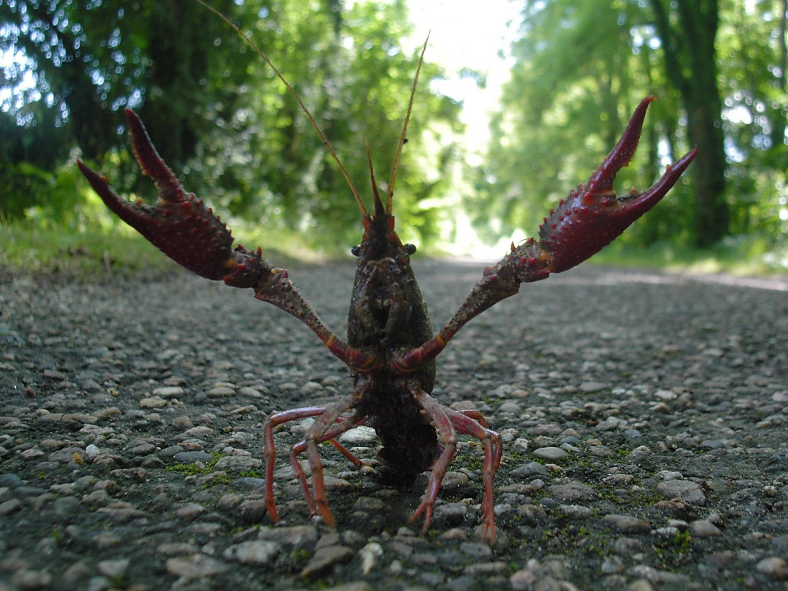 Enfin l écrevisse « Clarkii » (appelée aussi écrevisse de Louisiane) se  caractérise par sa couleur rouge et une agressivité débordante. a9918e5a9b7